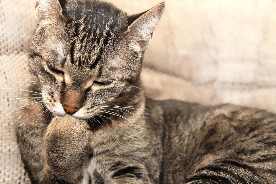 Bury kot gryzie swojego pazura. Pielęgnacja pazurów jest jednym z elementów rytuału zachowania higieny u kotów.