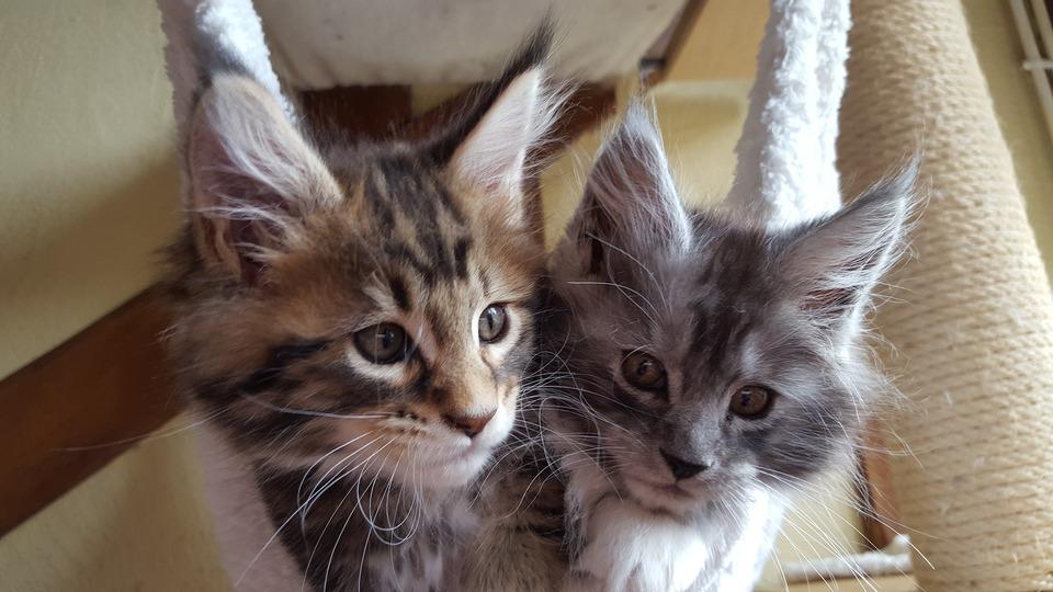 Sogar Kätzchen haben lange Schnurrhaare und Bürsten an den Ohren.