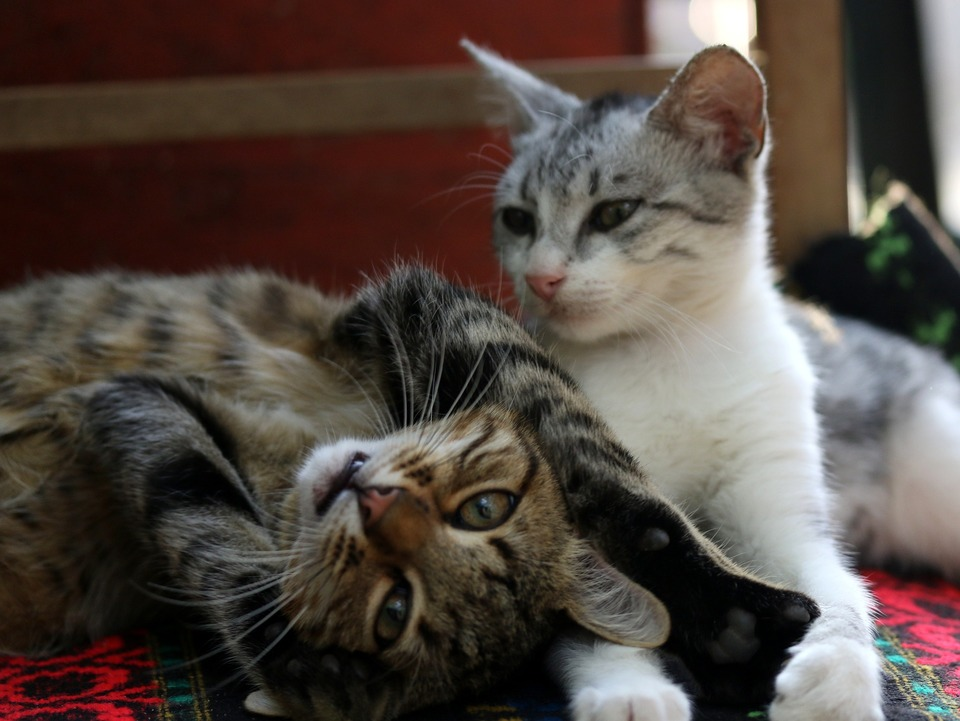 Zwei Katzen liegen nebeneinander. Die Katzen sind sozialisiert und ihre Körpersprache zeigt, dass sie sich zusammen gut fühlen. Dies wird durch entspannte Schnurrhaare und Muskeln, verengte Augen und eine leichte Körperhaltung angezeigt.