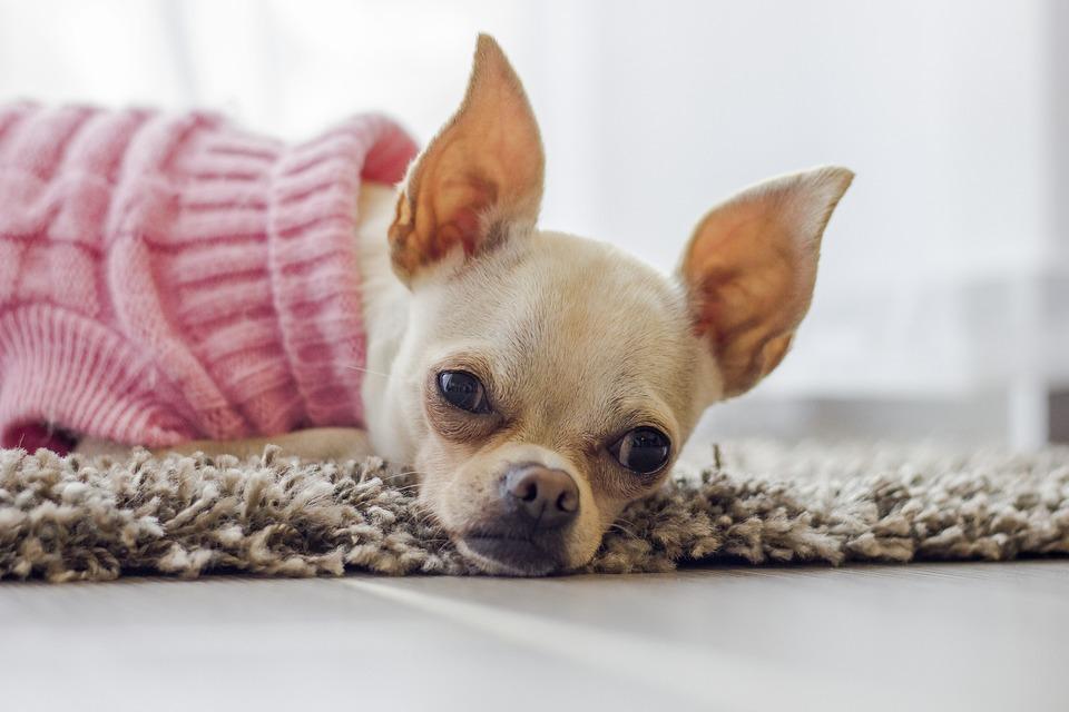 Die Kleidung für Chihuahua.