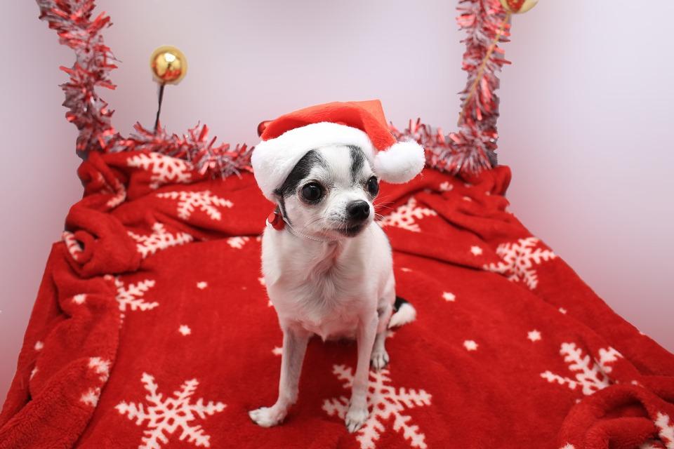 Hunde kleiner Rassen benötigen bei kaltem Wetter möglicherweise zusätzlichen Schutz in Form von Kleidung. Weihnachtskleidung kann daher ein Weihnachtsgeschenk für einen Hund sein.