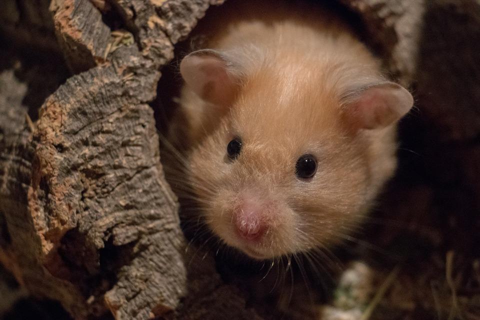 Syrische Hamster kommen in verschiedenen Varianten vor und können unterschiedliche Fellstrukturen aufweisen.