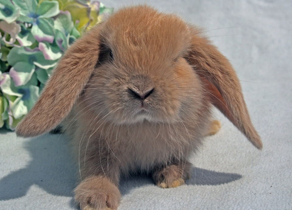 Das süße gefaltete Kaninchen schaut direkt in die Kamera. Mini-Lop-Kaninchen mögen menschlichen Kontakt sehr.
