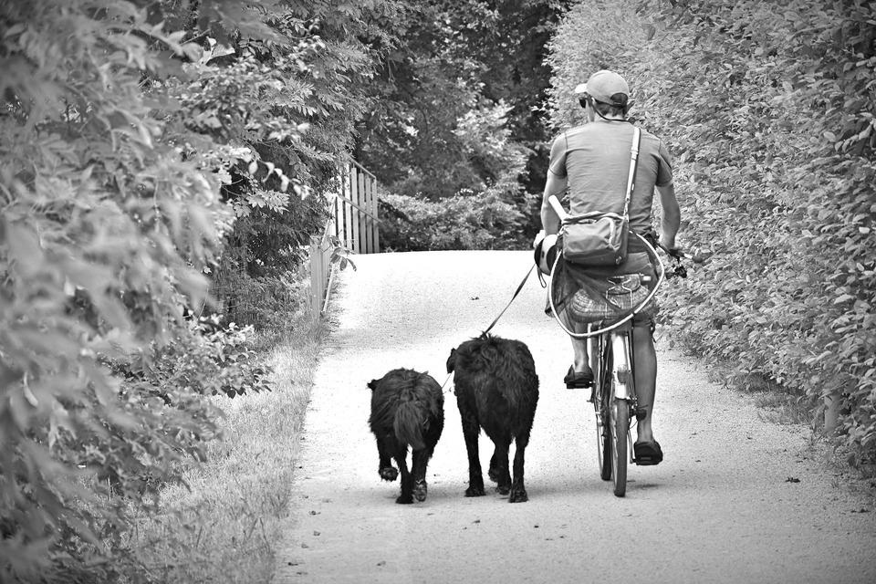 Ein Mann, der Fahrrad fährt, hält die Leinen von zwei Hunden, die neben ihm rennen.