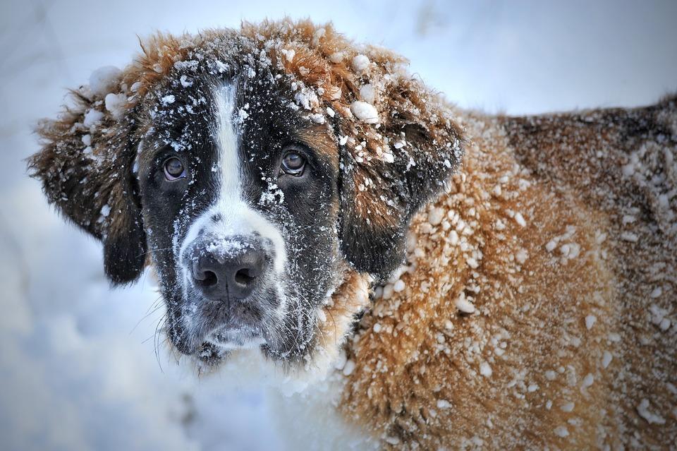 Der Bernhardiner, der im Schnee spielt. Dickes und dichtes Fell schützt den Hund vor Kälte und übermäßiger Hitze.