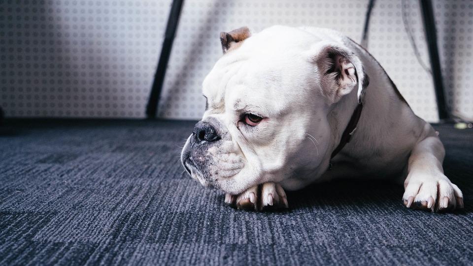 Bauchschmerzen und Apathie sind mit Durchfall bei einem Hund verbunden. Finden Sie Ihrem Hund einen warmen, ruhigen und sauberen Platz, damit er sich erholen kann.