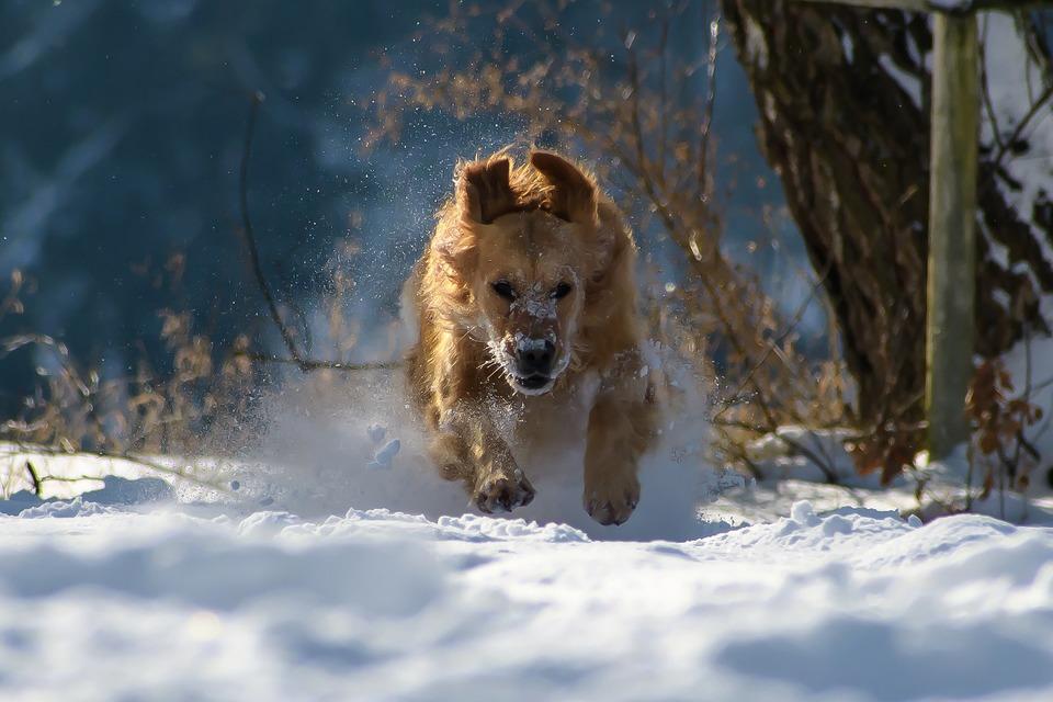 Golden Retriever läuft im Schnee. Für Hunde dieser Rasse ist ein kurzer Aufenthalt in der Kälte nicht gefährlich.