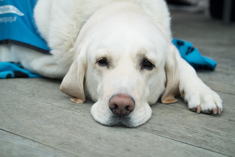 Der cremefarbene Labrador liegt auf einer Decke und schaut traurig weg