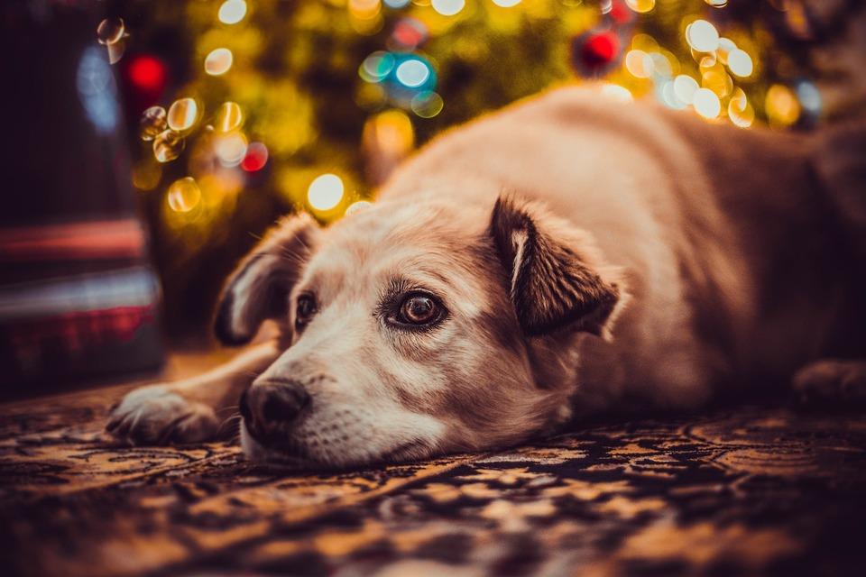 Weihnachten kann für einen Hund ein stressiges Erlebnis sein. Nehmen wir uns also viel Zeit für Haustiere und gewähren ein wenig Ruhe.