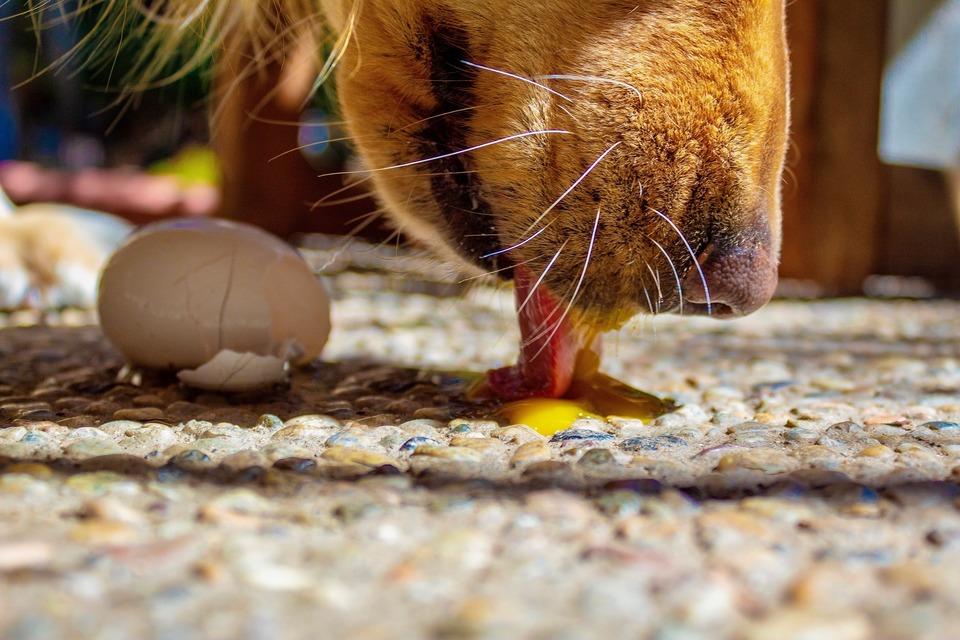 Der Hund leckt das rohe Eigelb. Eier sind eine Quelle für Vitamine und Aminosäuren. Sie liefern Biotin und Omega-Säuren.