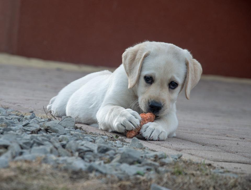 Ein Labrador-Welpe isst eine Karotte. Karotten sind gut zum Kauen - sie stärken den Kiefer Ihres Hundes und halten ihn gesund.