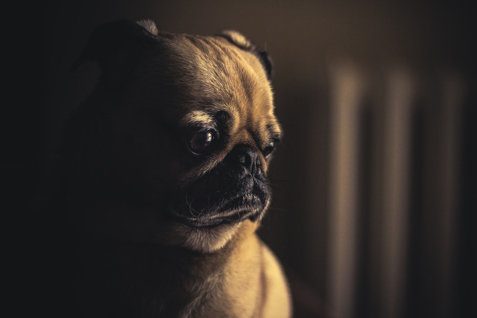 Trauriger Mops in einem dunklen Raum. Möpse sind eine ziemlich kranke Hunderasse, sie können sich oft unwohl fühlen, besonders seitens des Verdauungssystems.