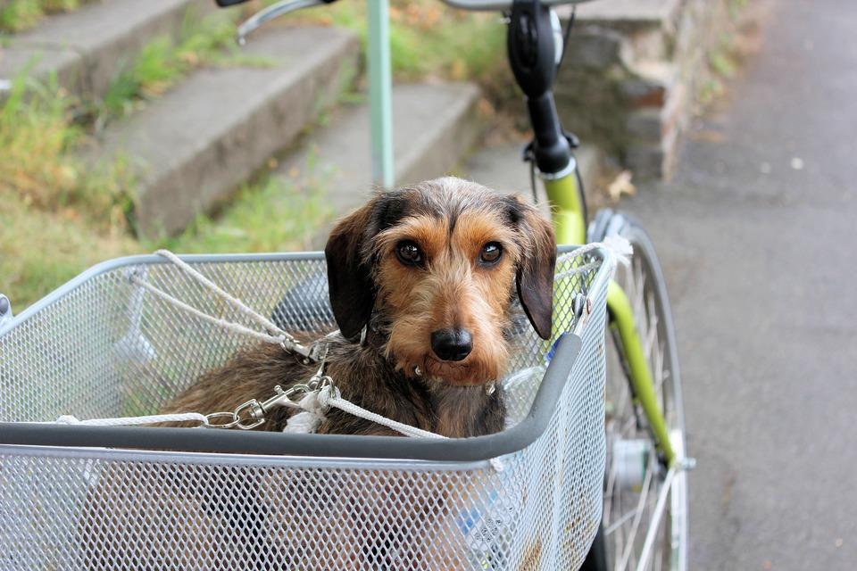 Der Hund im Korb, genau am Korb und am Fahrrad befestigt. Reisesicherheit ist von größter Bedeutung.