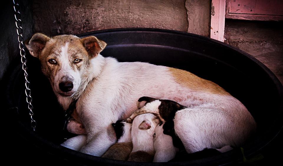 Die beste Milch für Welpen kommt von ihrer Mutter. Mit welcher Milch sollen sie ersetzt werden?