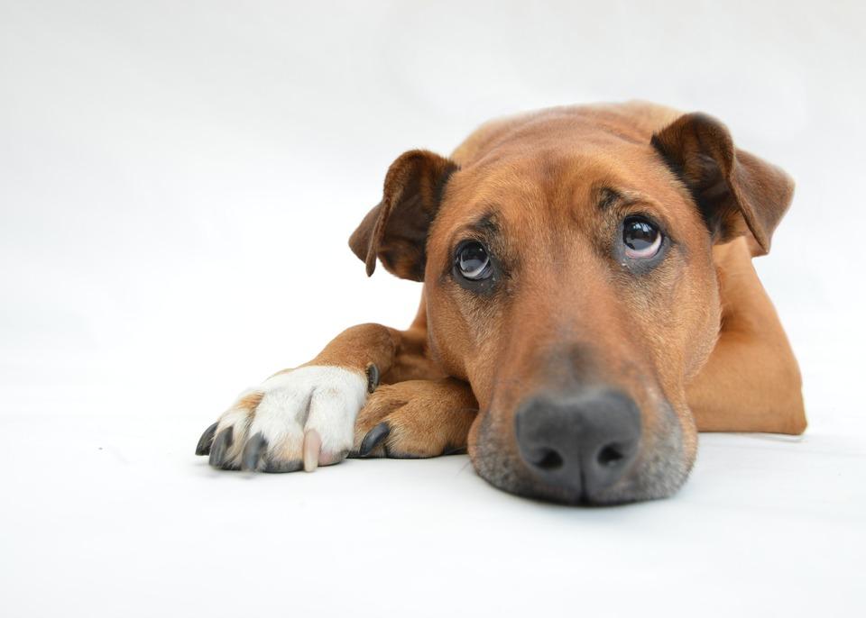 Der Hund liegt auf den Hinterbeinen und schaut traurig nach oben. Ein Hund, der unter Schmerzen leidet, ist nicht selbst, er kann apathisches oder aggressives Verhalten zeigen.