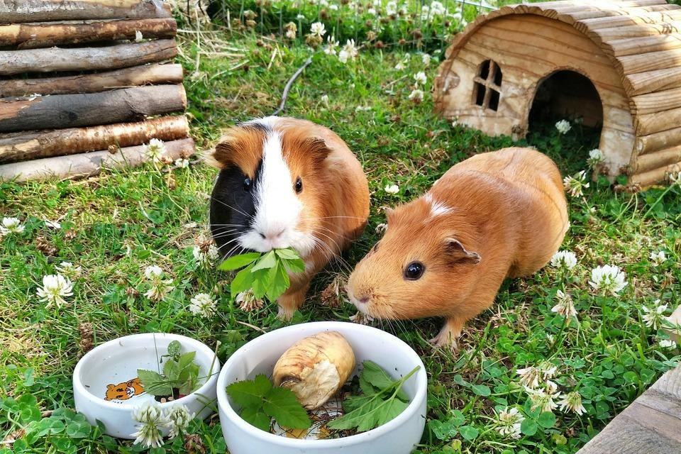 Zwei Meerschweinchen in einem Schutzgebiet fressen Petersilie und Gemüse. Dank der Sozialisation verstehen sie sich gut.
