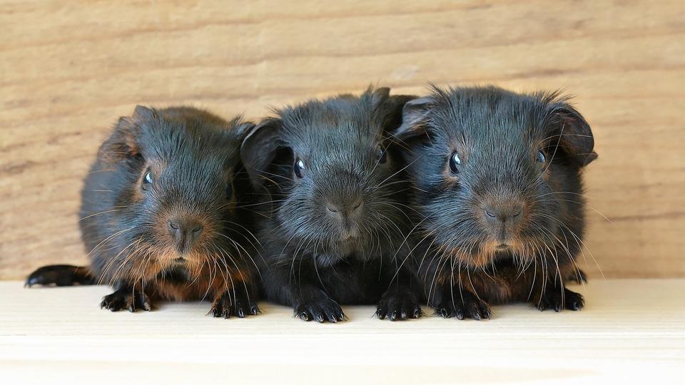Drei schwarze Meerschweinchen mit schwarzbraunem Fell.
