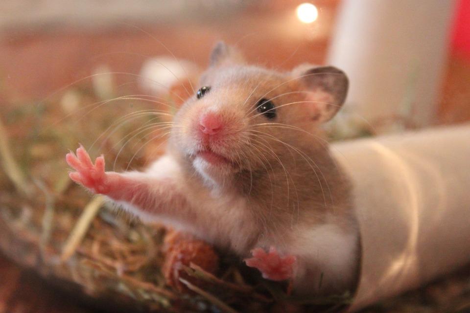 Die Ausrüstung des Hamsterkäfigs sollte reich sein. Als Spielzeug können Sie einfache Haushaltsgegenstände wie eine Papierrolle verwenden.