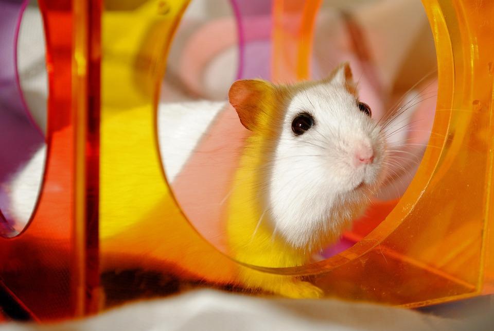 Hamster sind sehr neugierige Tiere. Damit sie sich nicht langweilen, lohnt es sich, von Zeit zu Zeit ihre Umgebung durch Hinzufügen von Spielzeug oder Tunneln zu ändern.