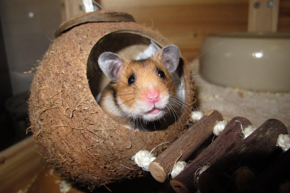 Eine gereinigte Kokosnuss kann als Hamsterhaus dienen.