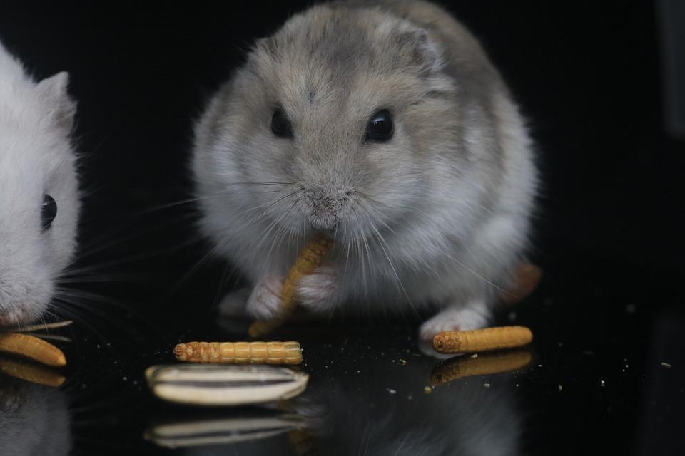 Hamster sollten tierisches Eiweiß in Form von getrockneten Mehlwürmern oder Grillen erhalten. Es ist am besten, dieses Essen ein- oder zweimal pro Woche zu geben.