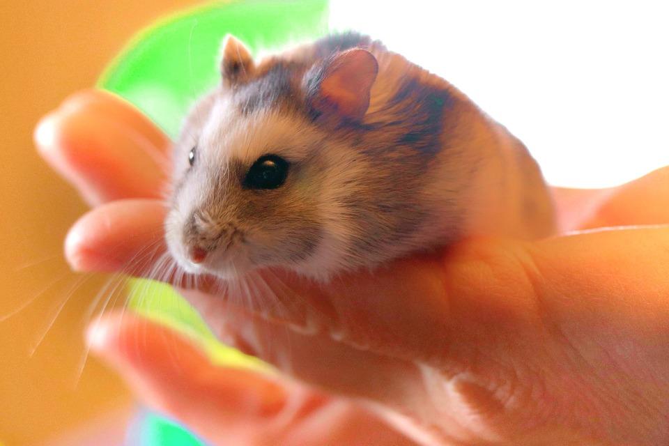 Hamster sind Einzelgänger. Nach einiger Zeit gewöhnen sie sich an den Kontakt mit Menschen und sind gerne in ihrer Nähe. Sie sind jedoch nicht bereit zu kuscheln und zu küssen.