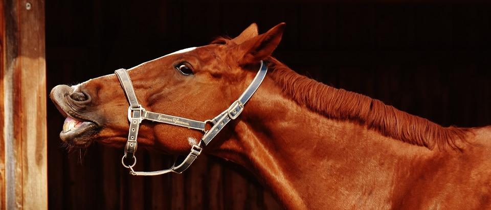 Ein wieherndes Pferd. Eine erhabene Lippe kann Flechmans Reflex, ein Zeichen der Freude oder einen Gruß bedeuten.