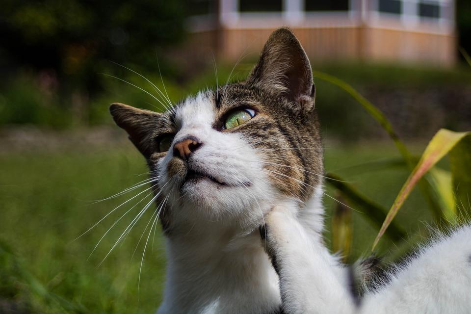 Die Katze kratzt sich mit der Hinterpfote am Kinn. Juckreiz kann viele Ursachen haben, einschließlich Fremdkörper, Allergien, Dermatitis usw.