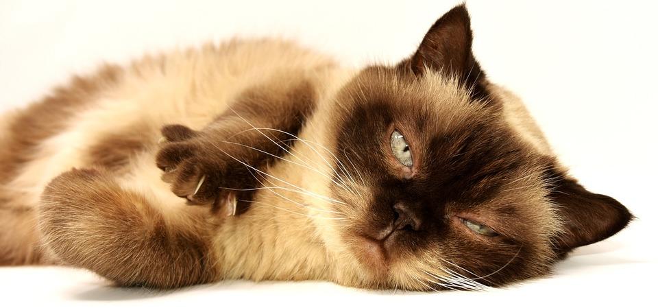 Thailändische Katze streckt Pfoten aus, die in der Luft kneten wollen.