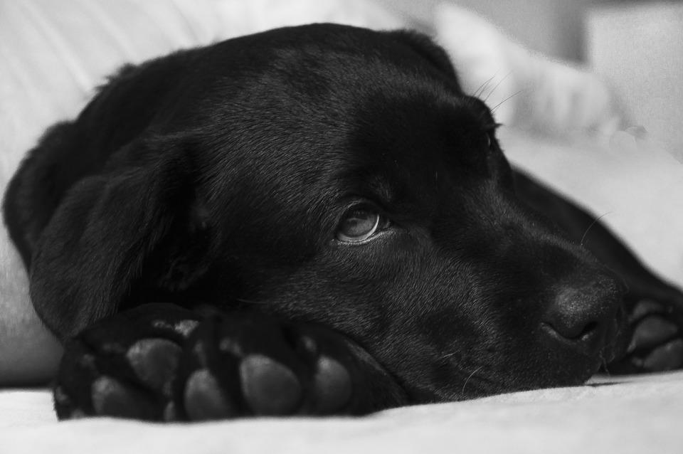 Der schwarze Labrador liegt mit dem Kopf auf den Vorderpfoten und schaut in die Ferne.