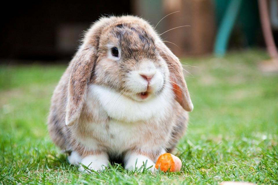 Das Mini-Lop-Kaninchen frisst eine Karotte. Er steht mit offenem Mund im Gras.