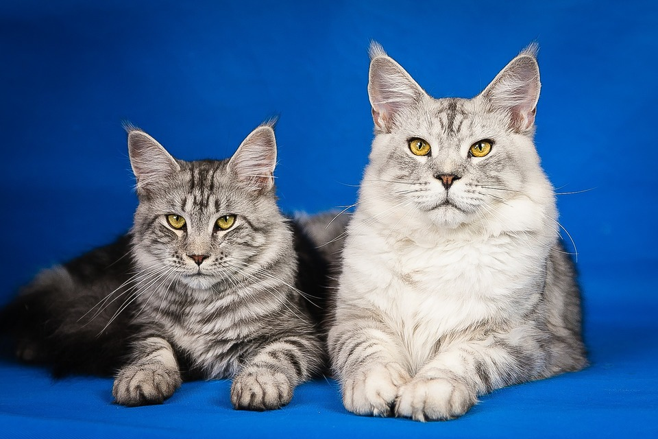 Maine Coons sind alle Farben und Zeichnungen erlaubt. Das Fell von Katzen dieser Rasse sollte einfarbig oder gestreift sein.