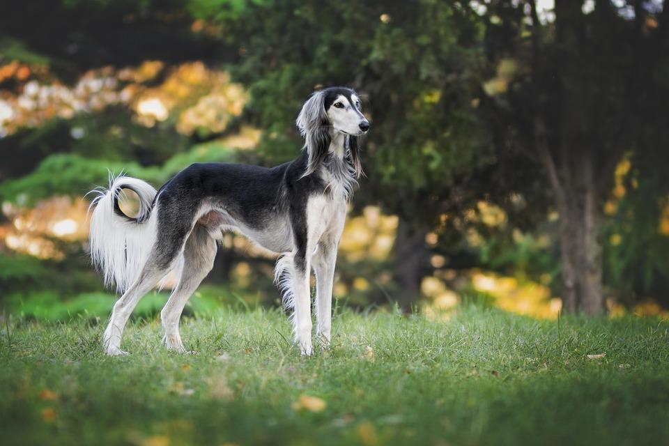Windhunde sind eine der schnellsten Rassen von Haushunden. Sie werden zum Fangen und Jagen von Tieren im Freien eingesetzt.
