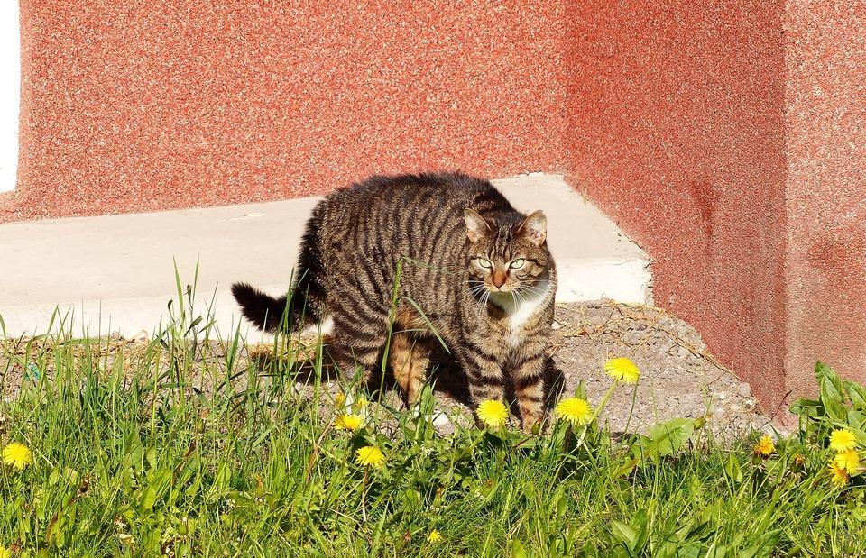 Die ängstliche Katze versucht, ihre Körpergröße visuell zu vergrößern. Zu diesem Zweck beschichtet es das Fell auf Rücken und Schwanz und erscheint größer.