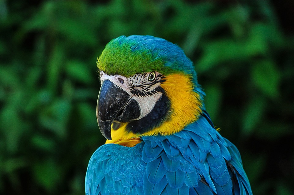 Der Ara-Papagei muss seinen natürlichen Lebensraum wiederherstellen. Mit einem zu kleinen Käfig oder mit einer schlechten Ernährung werden Papageien depressiv und anfällig für Krankheiten.