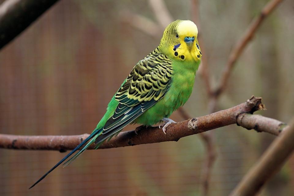 Der Papagei sitzt auf einem Zweig. Papageien lieben es, ihre Umgebung zu beobachten und neue Gebiete zu erschließen.