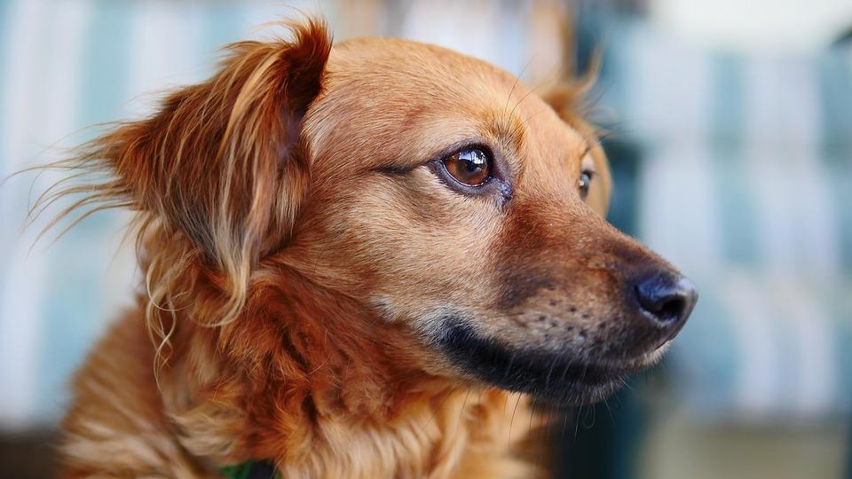 Wenn Sie Ihren Hund impfen, schützen Sie ihn vor vielen Krankheiten, einschließlich Parvovirose.