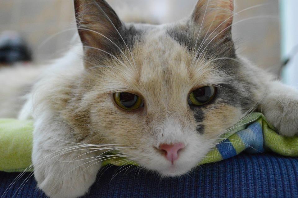 Die kranke Katze liegt im Veterinäramt.