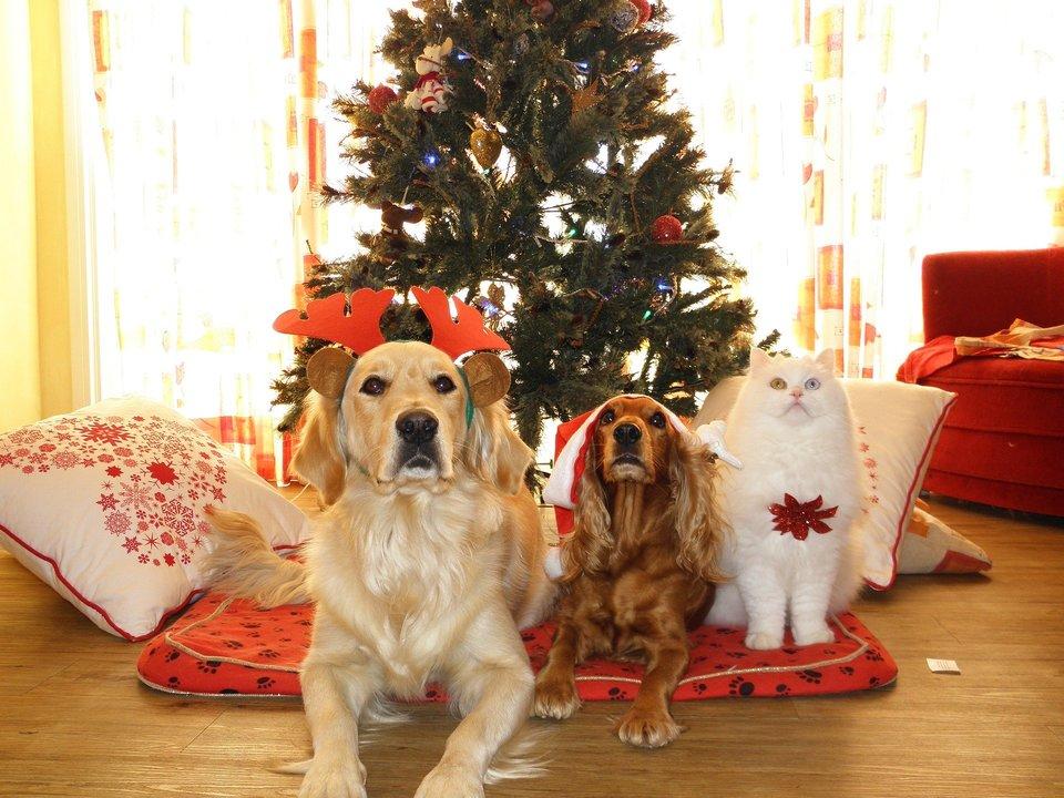 Weihnachtsgeschenke für Hunde und Katzen machen alle glücklich - Besitzer und Tiere. Großer Golden, kleiner Cavalier und Katze - mit Weihnachtsschmuck warten schon auf Geschenke.