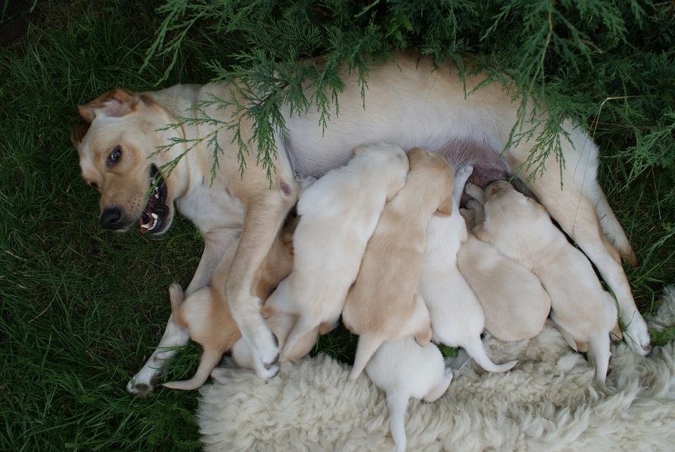 Entspannte Hündin füttert acht ihrer jungen Welpen.