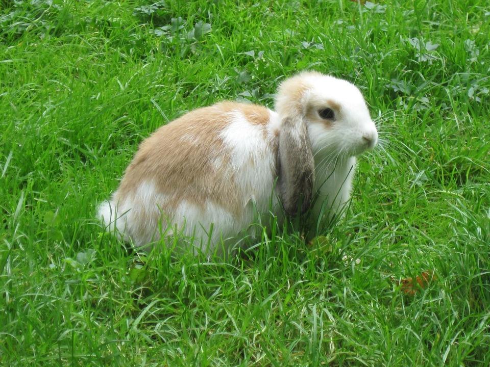 Falten Sie Kaninchen steht auf grünem Gras. Frisches Grün ist ein wichtiger Bestandteil der Kaninchenernährung.