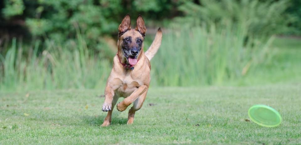 Ein Hund, der ein Spielzeug jagt, kann die ganze Welt vergessen. Eine Pfeife für einen Hund kann hilfreich sein.