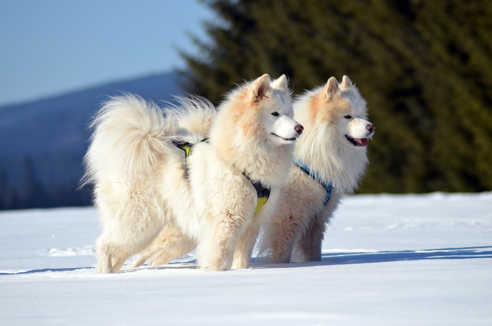 Das zweischichtige Fell von Samojeden ist mit natürlichem Talg bedeckt, der eine schützende Wirkung hat. Sie sollten Ihren Hund regelmäßig kämmen.