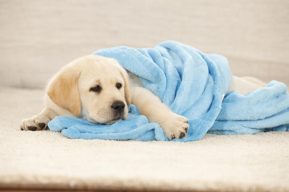 Ein Welpe zu Hause ist ein großes Ereignis. Die Babyausstattung sollte unter anderem eine Decke enthalten.