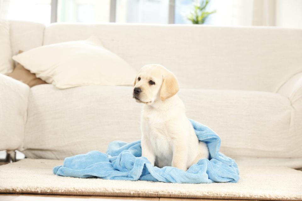 Labrador Welpe in einer Decke.