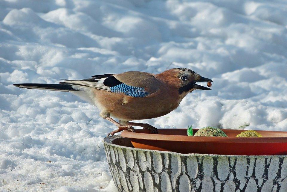 Fettkugeln sind praktisch für die Fütterung Vögel. Sie können leicht gegeben werden, und die Vögel können auf dem Netz anhalten und das Futter zwischen den Ösen füttern.