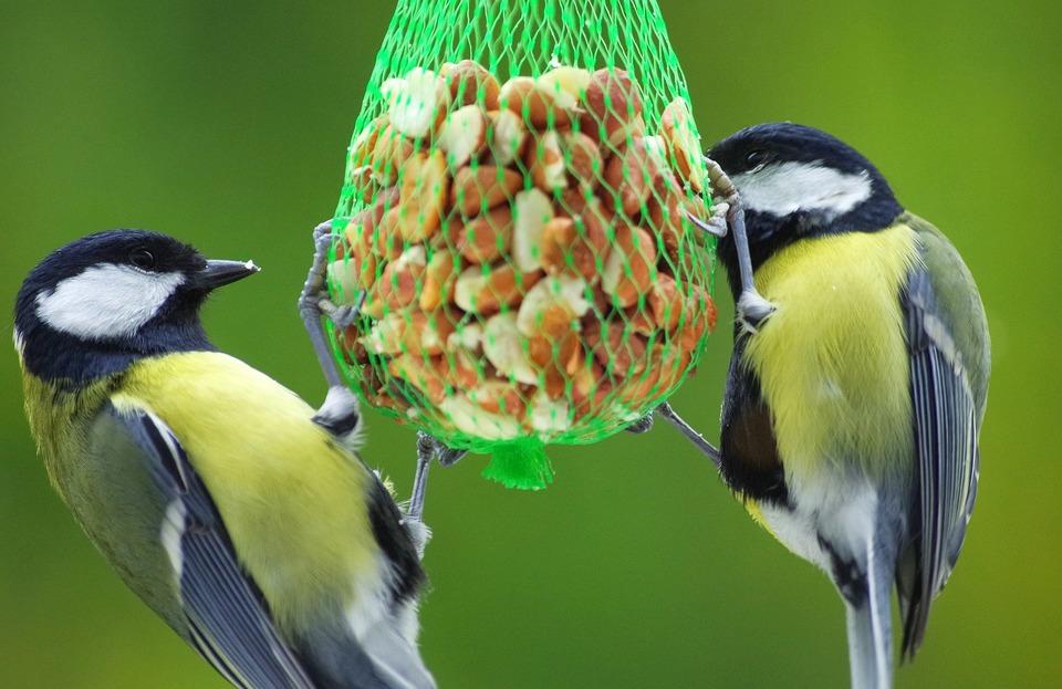 Erdnüsse im Netz sind eine Quelle für Fett und Eiweiß. Die Meisen lieben sie.